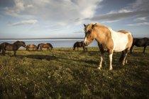 Manada de cavalos pastando no gramado verde perto da água em dia ensolarado na Islândia — Fotografia de Stock