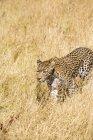 Léopard, marchant dans les herbes sèches de savane sur journée ensoleillée au Botswana, Afrique — Photo de stock