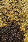Closeup of honeybee swarm working on honeycomb — Stock Photo