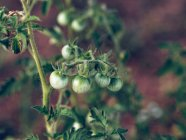 Tomates vertes poussant sur la branche dans le jardin — Photo de stock