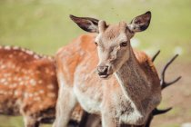 Close-up of brown deer grazing in natural reserve — Stock Photo
