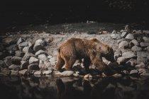 Ours brun sauvage reniflant le sol tout en marchant sur la rive pierreuse du lac en Andorre — Photo de stock