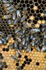 Gros plan d'abeilles domestiques occupées travaillant sur nid d'abeille — Photo de stock
