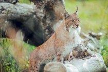 Lince bruna seduta sul ramo nella riserva naturale e distogliendo lo sguardo — Foto stock