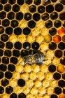 Gros plan de occupé abeille domestique travaillant sur nid d'abeille — Photo de stock