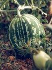 Big striped ripe watermelon growing in garden — Stock Photo