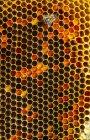 Крупный план медоносной пчелы, работающей над сотовыми сотами — стоковое фото