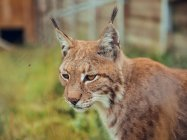 Close-up of brown lynx looking away in nature — Stock Photo