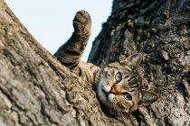 Ледачий голі кішки лежачи на дерево і, дивлячись на камеру — стокове фото