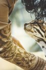 Close-up of person stroking leopard in zoo — Stock Photo