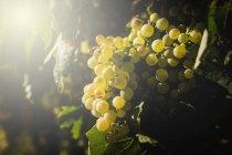 Racimos de uvas que crecen en el viñedo a la luz del sol - foto de stock