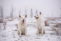Два белых швейцарских пастуха сидят в снежной природе — стоковое фото