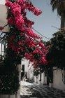 Arbrisseau de fleur rose pittoresque sur les bâtiments traditionnels à Mykonos, Grèce — Photo de stock