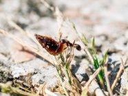 Primo piano di piccola formica che trasporta oggetto pesante in natura — Foto stock