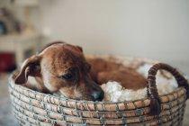 Adorable perrito marrón en acogedora canasta de mimbre - foto de stock
