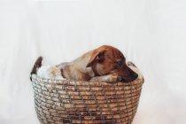 Adorable perrito marrón en acogedora canasta de mimbre sobre fondo blanco - foto de stock