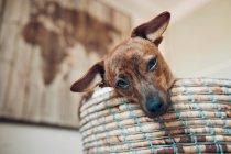 Прекрасный маленький коричневый щенок в уютной плетеной корзине — стоковое фото