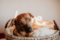 Adorable perro marrón acostado sobre cuadros en cesta con lámpara brillante - foto de stock
