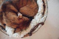 Adorable perrito marrón durmiendo en acogedora canasta de mimbre sobre fondo blanco - foto de stock