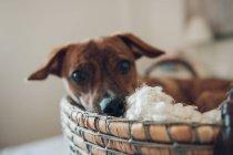 Primer plano de lindo perrito marrón en acogedora canasta de mimbre sobre fondo borroso - foto de stock