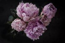 Кучка свежих розовых пионов на тёмном фоне — стоковое фото