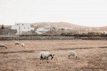Pecore domestiche al pascolo sul prato con erba secca vicino alla città con case bianche sulle colline a Mykonos, Grecia — Foto stock