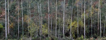 Panoramic view of thin tree trunks with autumnal foliage in tranquil cold woods — Stock Photo