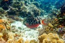 Poisson exotique coloré près du récif sous-marin — Photo de stock
