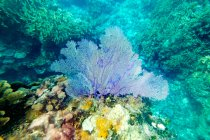 Primer plano de coral azul brillante en el arrecife bajo el agua - foto de stock