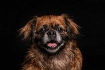 Коричневая собачка с открытым ртом на черном фоне — стоковое фото