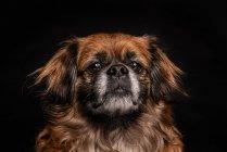 Маленькая коричневая собачка смотрит в камеру на черном фоне — стоковое фото