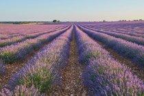 Filas de campo de lavanda púrpura en el campo - foto de stock