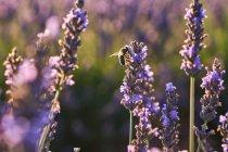 Primo piano di fiori viola nel campo di lavanda in campagna — Foto stock