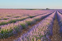 Big violet lavender field in countryside — Stock Photo