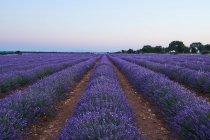 Gran campo de lavanda violeta en la luz de la noche - foto de stock