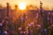 Close-up of purple flowers of lavender field at sunset — Stock Photo