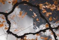 Ramas de árboles con hojas naranjas de otoño en el fondo del cielo nublado - foto de stock