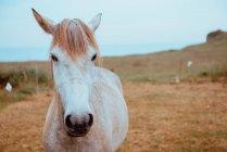 Elegante cavalo bege pastando no campo da fazenda no outono — Fotografia de Stock