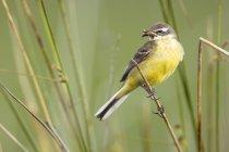 Жовтий птах сідати на гілці між зеленої трави з їжею в дзьобі на розмитим фоном в Belena лагуни, Польща — стокове фото