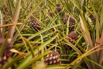 Tropical green bushes with ripening pineapples on plantation — Foto stock