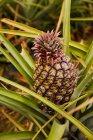 Close-up de arbusto verde tropical com abacaxi em amadurecimento na plantação — Fotografia de Stock