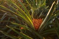 Primer plano del arbusto verde tropical con piña de maduración en la plantación - foto de stock