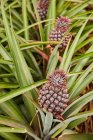 Close-up of tropical green bushes with ripening pineapples on plantation — Stock Photo