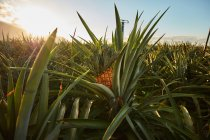 Tropical green bushes with ripening pineapple on plantation at sunset — Stock Photo