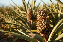 Tropical green bushes with ripening pineapples on plantation — Stock Photo