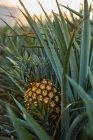 Arbustos verdes tropicales con piña en maduración en plantación al atardecer - foto de stock