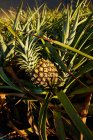 Close-up of tropical green bush with ripening pineapple on plantation — Stock Photo