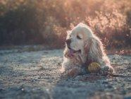 Смішні Американський кокер-спаніель собаки лежачи на землі між рослинами на заході сонця — стокове фото