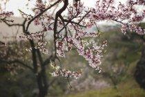 Gros plan de rameau d'arbre fruitier en fleurs sur fond de paysage rural avec des collines — Photo de stock