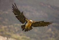 Big wild eagle flying near mountain on blurred background — Stock Photo